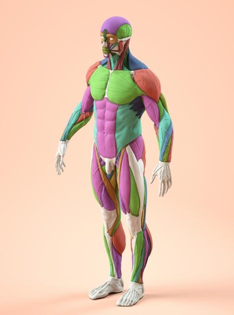 男性の筋肉模型