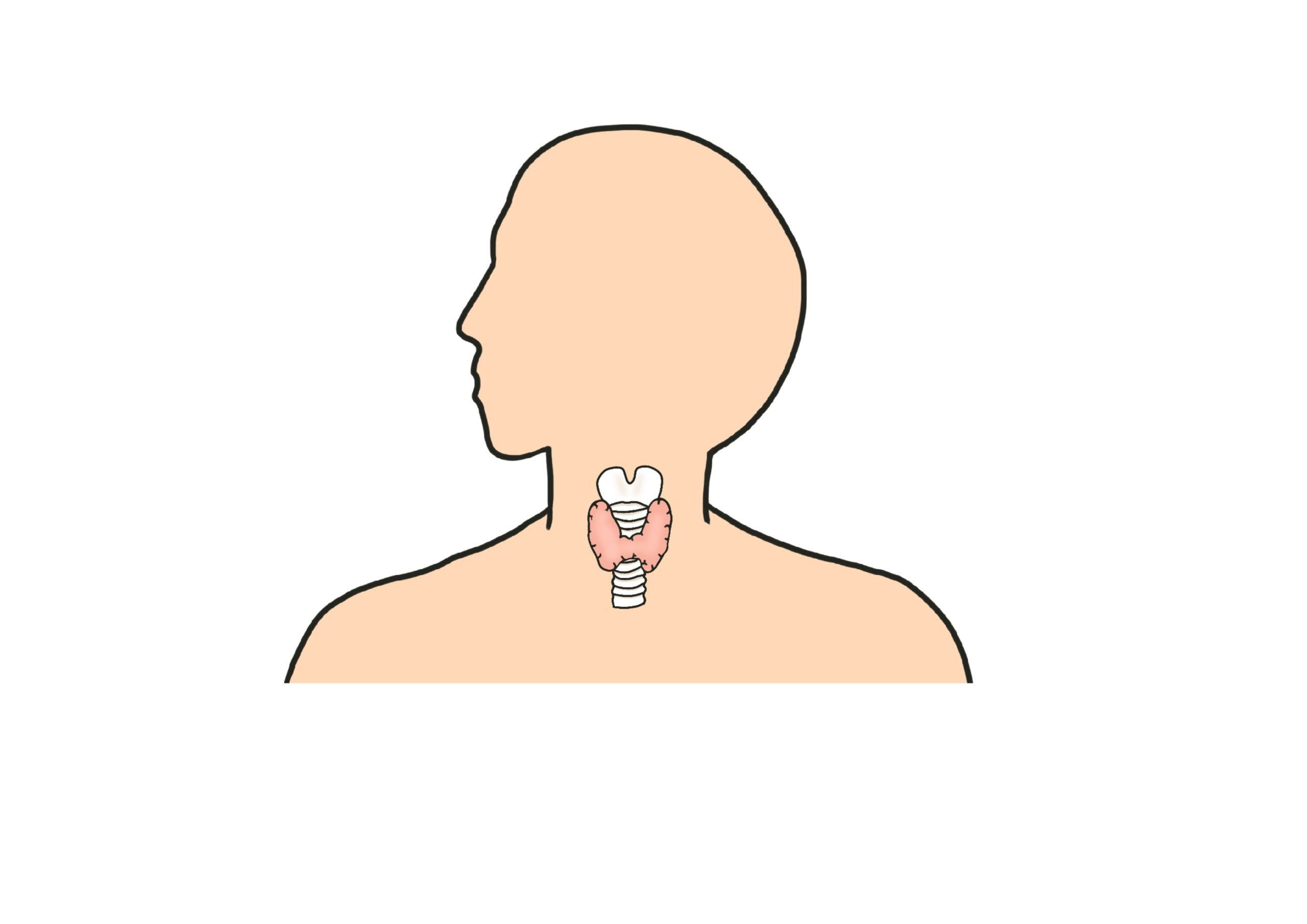 甲状腺 イラスト