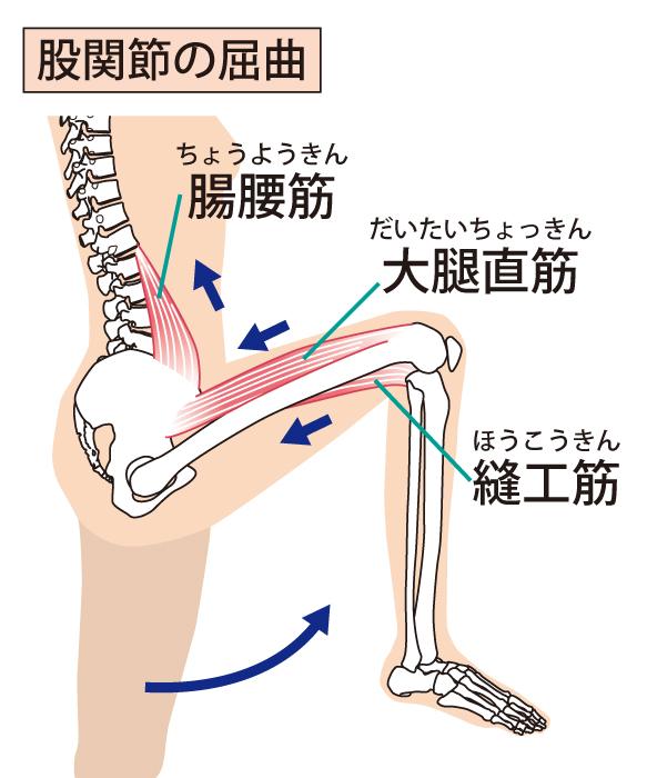 股関節のイラスト 屈曲