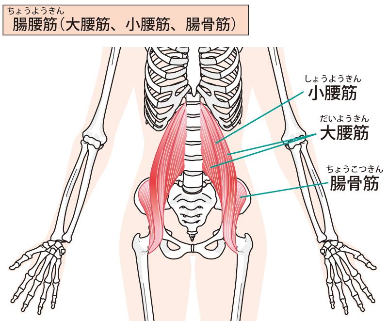 腸腰筋 イラスト